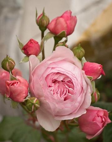 imagenes de flores de colores rosas