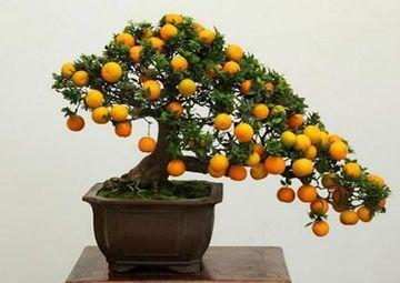 como hacer arboles frutales enanos en maceteros