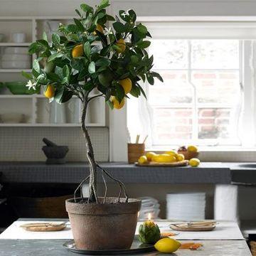 como hacer arboles frutales enanos para interiores