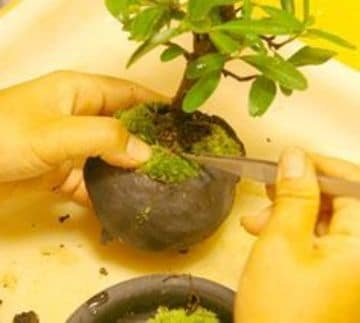 como hacer un bonsai en casa de un arbol de limon