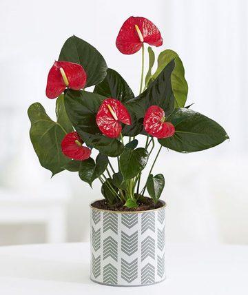 flores de sombra para interiores duraderas