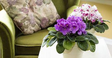 flores de sombra para interiores moradas
