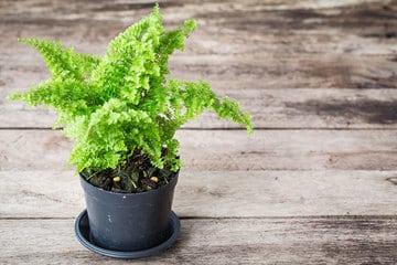 plantas pequeñas para interiores el helecho